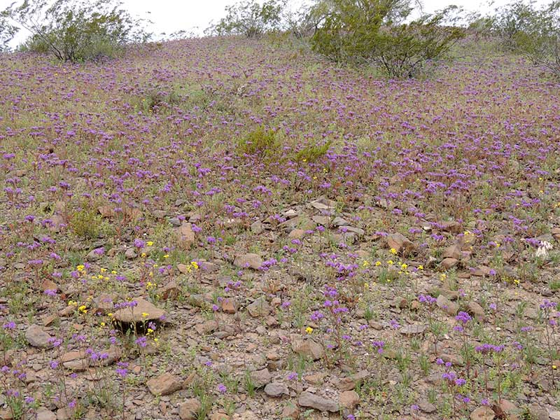 Spring 2017 wildflowers near Gila Bend, Arizona