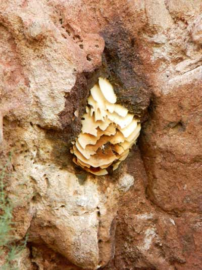 honey bee colony below cliff overhang at Camelback Mountain, Phoenix, Arizona