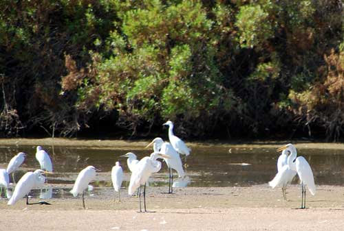 a variety of herons and egrets at Gilbert, Arizona