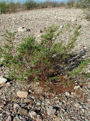 habit of creosote bush, Larrea tridentata, photo © by Michael Plagens