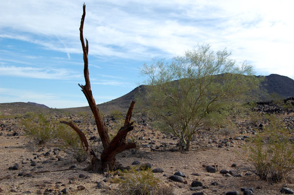 A long-dead ironwood tree backdropped by the rugged basalt of Painted Rock Mountains. Photo © Michael Plagens