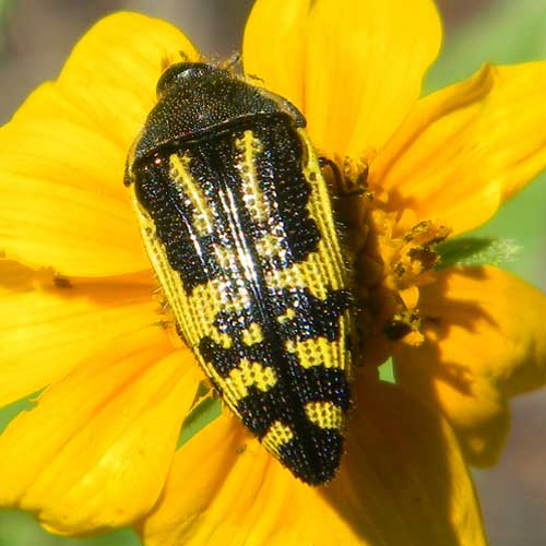a yellow and black flower buprestidae, Acmaeodera amplicollis, photo © by Mike Plagens