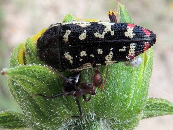 a black flower buprestidae beetle marked with red and white spots, Acmaeodera disjuncta, photo © by Mike Plagens