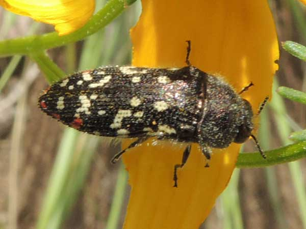 a cream, black, and red flower buprestidae, Acmaeodera rubronotata, photo © by Mike Plagens