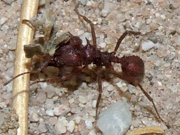 Arizona Leaf-cutter Ant, Acromyrmex versicolor, photo © by Mike P{lagens