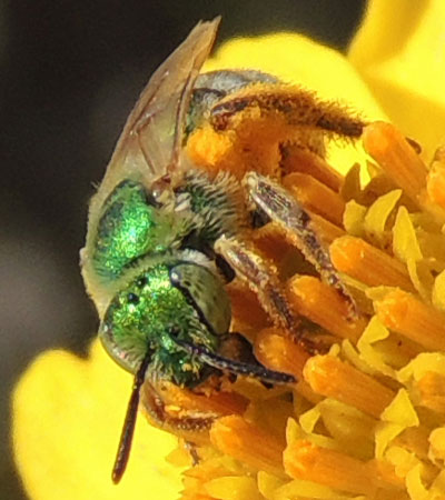Metallic Green Bee, Agapostemon texanus, photo by Michael Plagens