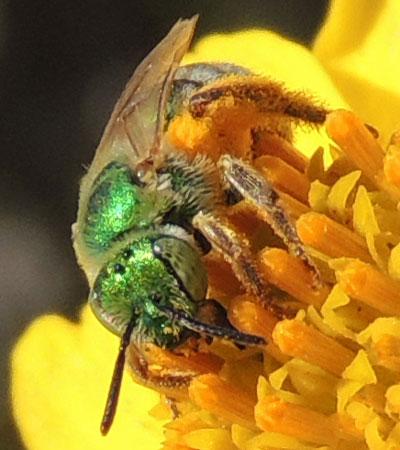 Metallic Green Bee, Agapostemon texanus, photo by Michael Plagens