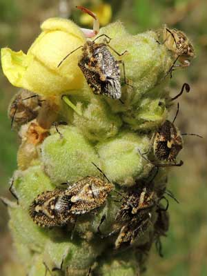 African Cluster Bugs, Agonoscelis puberla, on Common Mullein, Verbascum thapsus, © by Michael Plagens