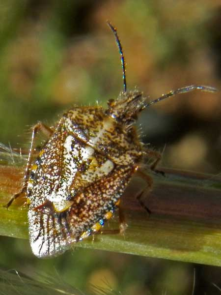 a stink bug, Agonoscelis puberula, photo © by Michael Plagens