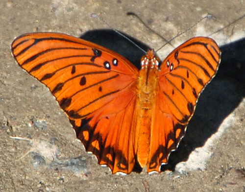 Gulf Fritillary on the wing in Madera Canyon, photo © by Mike Plagens