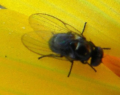 Agromyzid fly feeds upon achenes of Gerea canescens,  photo © by Mike Plagens
