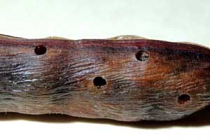 exit holes in sweet acacia pods made by Algarobius bean weevil, photo by Michael Plagens