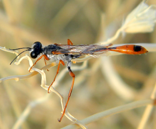 Ammophila wasp photo © by Mike Plagens