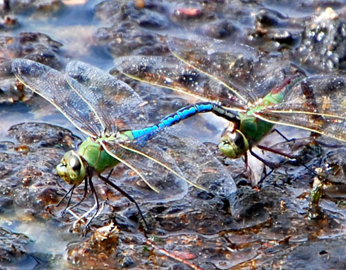Maiting pair of Green Darner Dragonflies, Anax junius, photo © by Mike Plagens