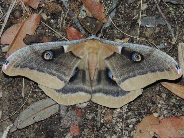 a Western Polyphemus, Antheraea oculea, photo © by M. Plagens