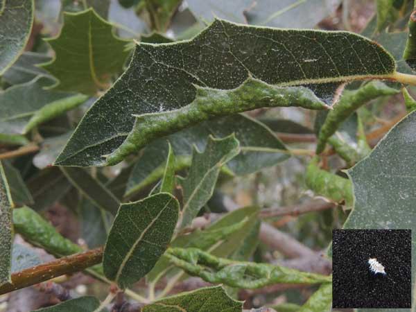 small white aphids, Stegophylla essigi, inside folded leaf of Emory Oak © by Michael Plagens