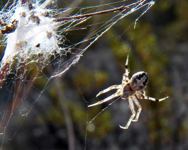 an orb weaver spider, Araneus sp from the Sonoran Desert photo © by Mike Plagens