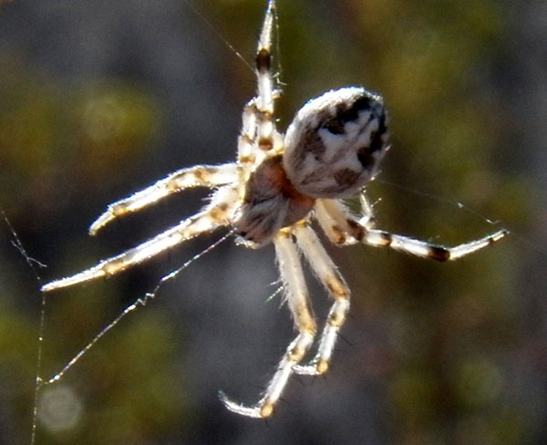 an orb weaver spider, Aculepiera sp from the Sonoran Desert photo © by Mike Plagens