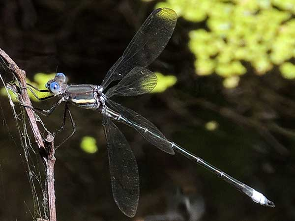 Graet Spreadwing, Archilestes grandis, photo © by Mike Plagens