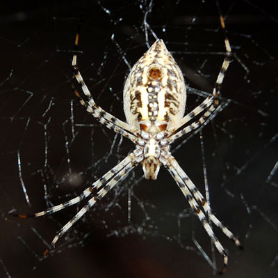 Argiope trifasciata photo © by Mike Plagens