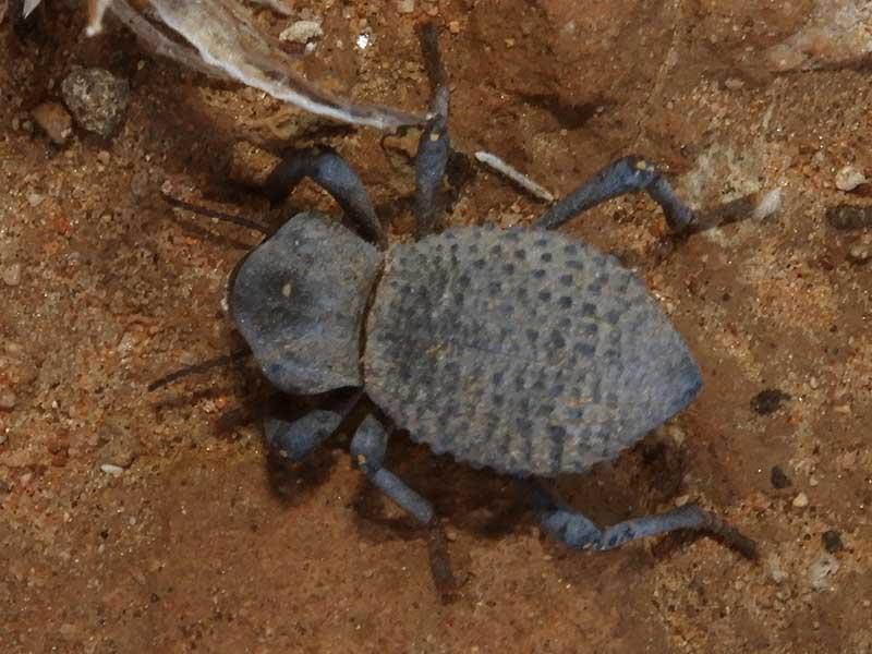 Desert Ironclad Beetle, Asbolus verrucosus, photo © by Mike Plagens