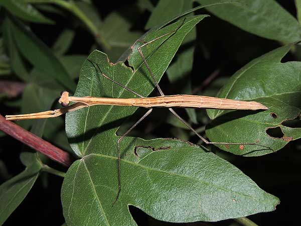 a wingless female mantis, Bactromantis mexicana, photo © by Mike Plagens
