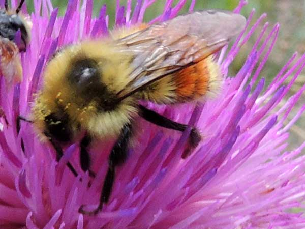 Bombus huntii photo © by Mike Plagens
