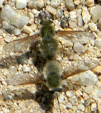 a pair of bee flies, possibly Anastoechus sp,  photo © by Mike Plagens