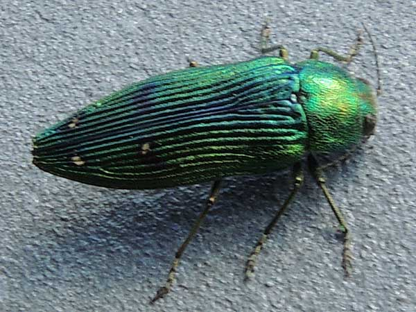 Emerald Jewel Beetle, Buprestis langii, photo © by Mike Plagens