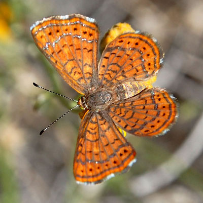 Likely female of Wright's Metalmark, Calephelis wrightii, photo © Michael Plagens