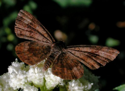 Fatal Metalmark, Calephelis nemesis, photo by Mike Plagens