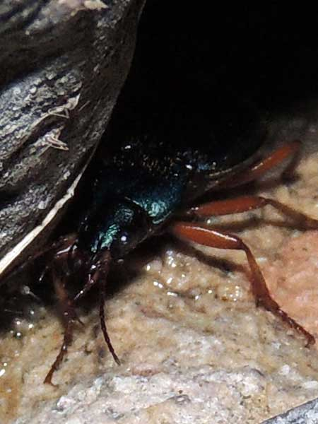 a Carabidae, Ground Beetle, photo © by Michael Plagens