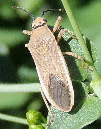 a Coreid Bug, Catorhintha sp., photo © by Mike Plagens