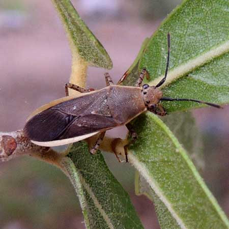 a leafless Leaf-footed Bug, Catorhintha selector, photo © by Michael Plagens