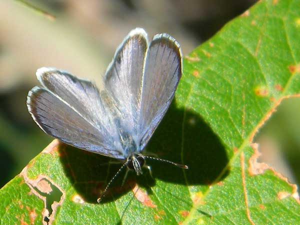 Azure Butterfly, Celastrina echo, photo © by Michael Plagens