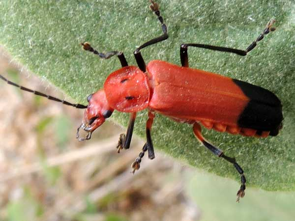 A soldier beetle, Chauliognathus lecontei, photo © by Mike Plagens