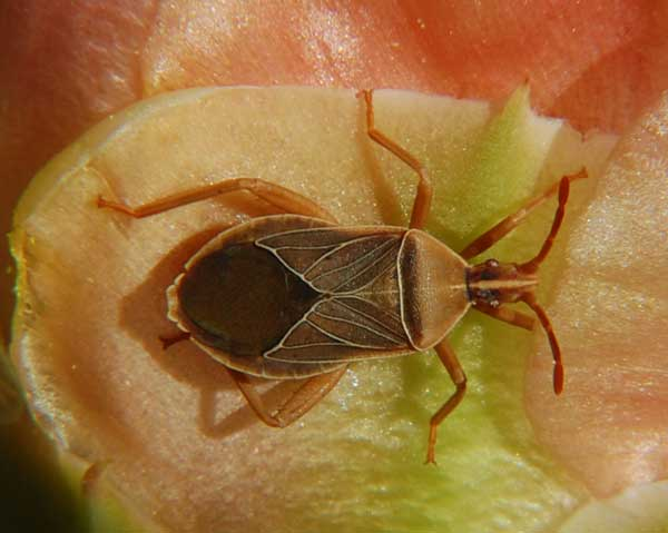 Adult of Chelinidea vittiger (Cactus Bug) on Prickly Pear Cactus Photo © by Michael Plagens