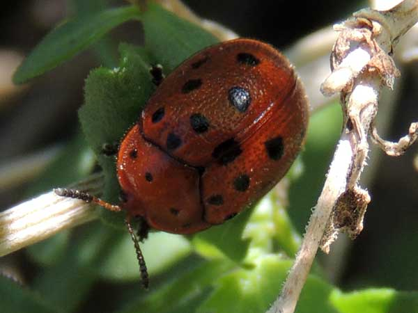a tortoise beetle with dark orange elytra and black spots, Chelymorpha phytophagica, photo © by Mike Plagens