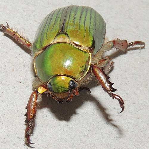 a scarab beetle, Chrysina lecontei, photo © by Mike Plagens