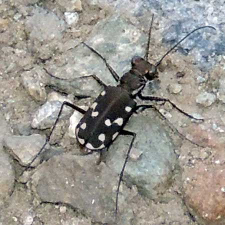 a tiger beetle with dark elytra with white spots, Cicindela sedecimpunctata, photo © by Mike Plagens