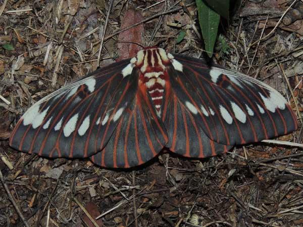 a Splendid Royal Moth, Citheronia splendens, photo © by M. Plagens