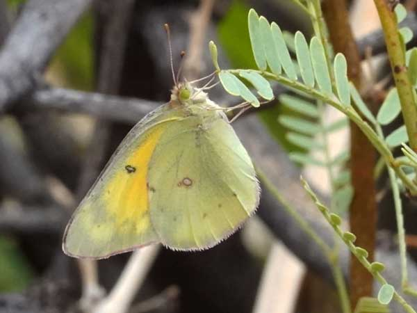 Photo of pinned Colias eurytheme © by Michael Plagens