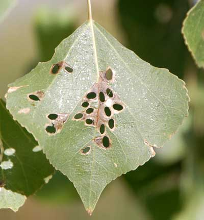 Fremont Cottonwood with holes made by Coptodisca leaf miners, photo © by Mike Plagens