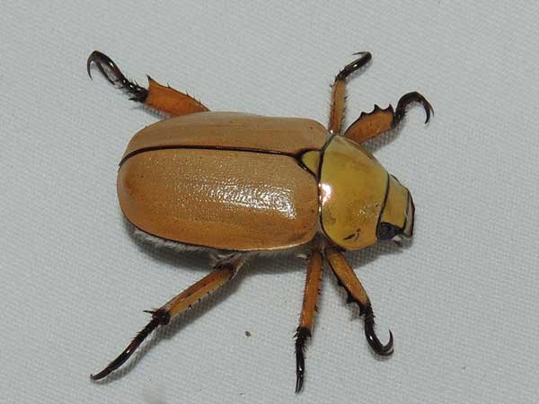 Cotalpa consobrina June beetle photo © by Mike Plagens