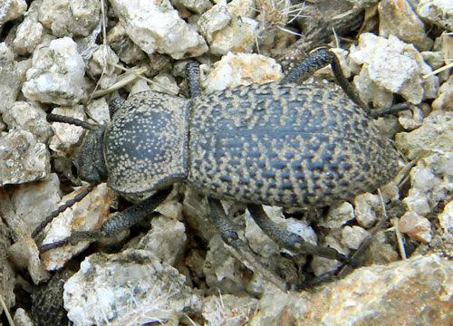 Desert Ironclad Beetle, Cryptoglossa variolosa, photo © by Mike Plagens