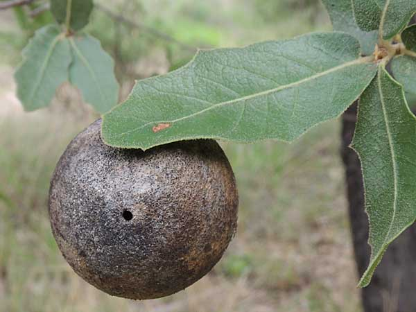 Gall by a Cynipidae on Quercus emoryi from the Sta. Rita Mountains photo © by Mike Plagens