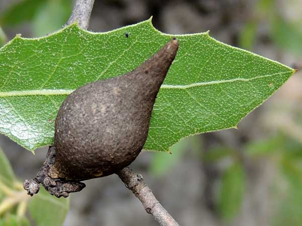 Stem Gall by a Cynipidae on Quercus emoryi from the Sta. Rita Mountains photo © by Mike Plagens
