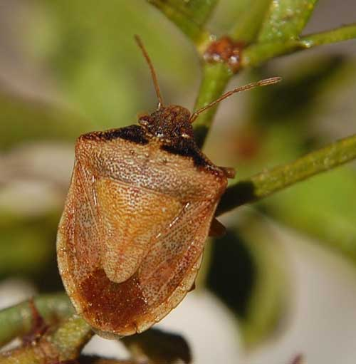 Dendrocoris contaminatus stinkbug photo © by Mike Plagens