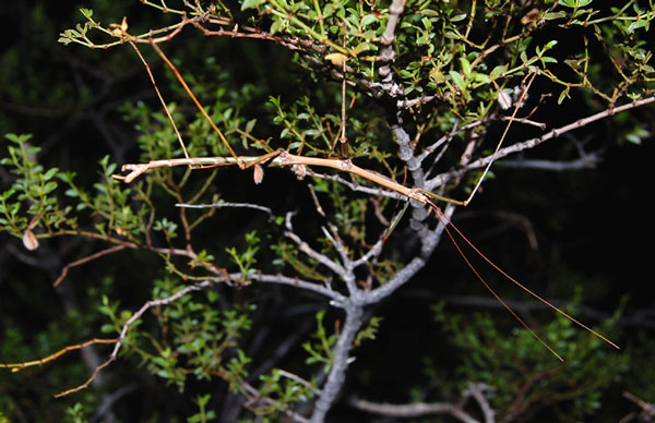 Diapheromera covilleae male photo © by Mike Plagens