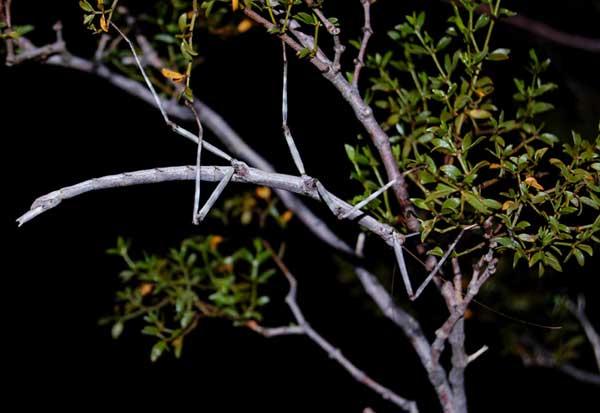 Diapheromera covilleae female photo © by Mike Plagens